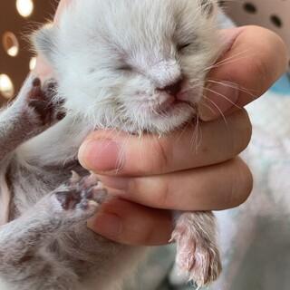 生後5日の白猫オス1匹