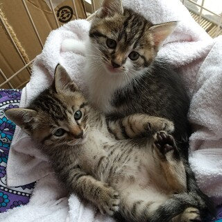 可愛い兄弟猫2ヶ月