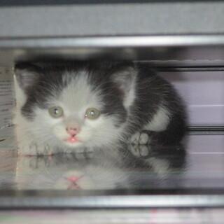 可愛いハチワレの白黒子猫のお家を探しています