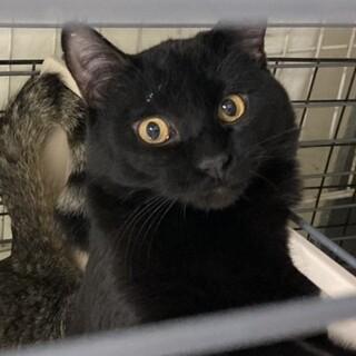 SOS!!人馴れしてます。綺麗な黒猫⭐️きほ