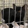 SOS!!人馴れしてます。綺麗な黒猫⭐️まあや サムネイル2