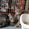 【5/23譲渡会】5姉妹 すごく美猫です サムネイル4