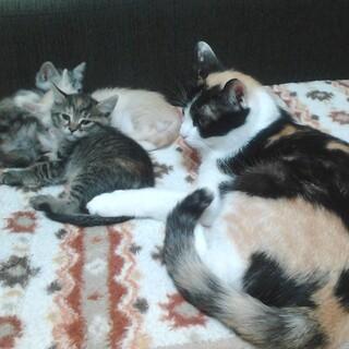 【募集停止】猫の赤ちゃん生後6~7週間
