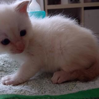 子猫☆生後1ヶ月☆女の子白ベースしっぽしましま