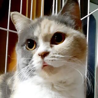 捨て猫を保護人懐こいパステル三毛