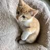 生後二ヶ月の子猫(茶トラ)
