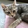 生後二ヶ月の子猫(キジトラ)