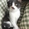 生後二ヶ月の子猫(白黒/鼻黒)