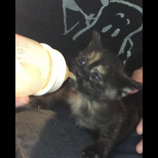 猫の赤ちゃんの里親さんになってくれる方を募集中!