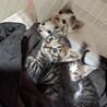 1ヶ月弱の子猫