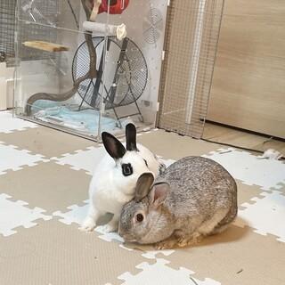 ミニウサギの親子♀