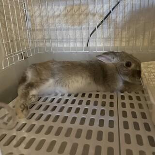 ミニウサギの♀