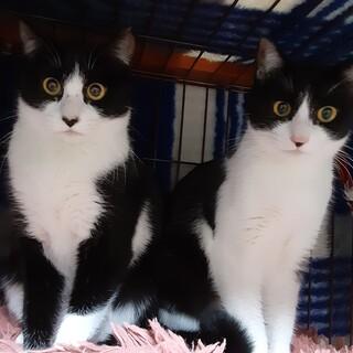 黒白ハチワレ美人姉妹「クリちゃんとコリちゃん」