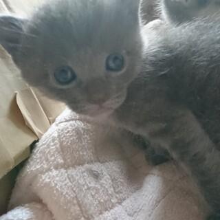 (現在交渉中です)四月生まれの子猫たちの里親募集中