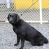 4才10か月 ※大型犬飼育経験者のみ※地域外は不可 サムネイル4