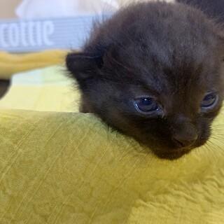 かわいい黒猫の赤ちゃんです。