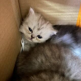 子猫 チンチラシルバーmix