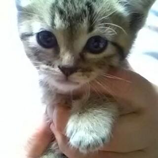 抱っこ好き甘えん坊なキジトラ男子❤️げんき