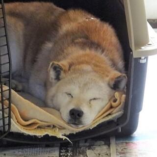 「急募」窓が無い部屋で老犬を保護しています