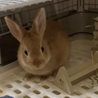 3ヶ月のミニウサギ♂里親募集