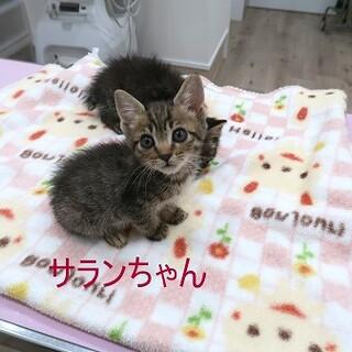 とっても人懐っこいキジの子猫さんです
