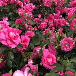 「薔薇の咲く公園」サムネイル3