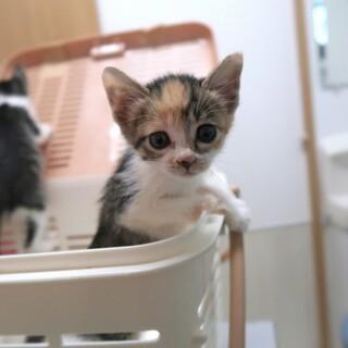 生後約1.5か月の三毛猫さんです