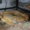 フトアゴヒゲトカゲ  ハイポレッド♂ 2匹