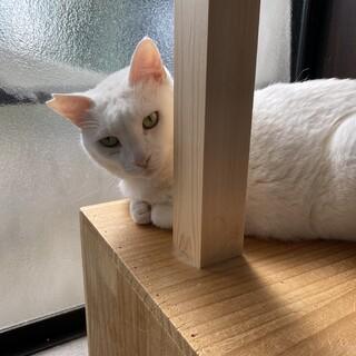 美人猫の「まつ」さん