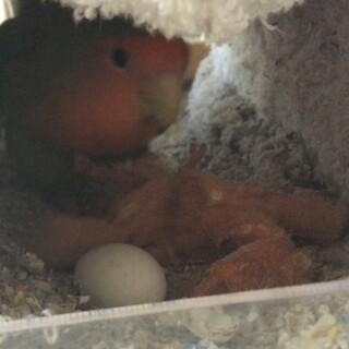 コザクラインコ 雛 3羽