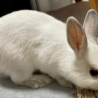 ネザーランドドワーフ4ヶ月、真っ白な可愛い女の子