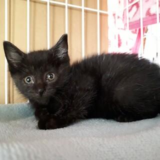 ひとりぼっちの子猫♂黒猫かん太くん