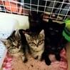 5匹の兄妹 キジトラ 黒猫