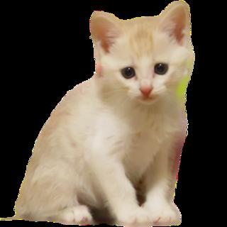 甘えんぼのひなた♀保護猫の里親募集中です!
