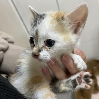 三毛猫女の子フレア