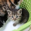 生後約1か月のキジの子猫さんです