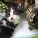 生後約1か月の白黒の子猫さんです