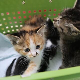 生後約1か月の三毛猫の子猫さんです
