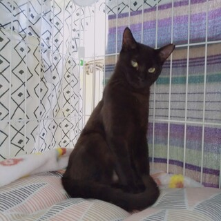シャイな黒猫