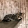 かわいい♡キジトラの子猫です