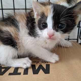 モフモフふわふわの三毛猫4きょうだい