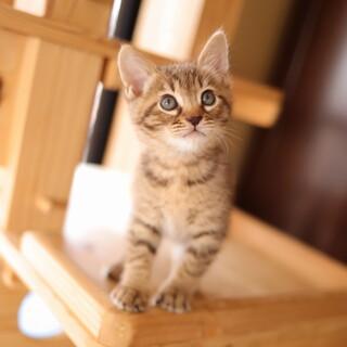 お膝の上が大好き!茶系のキジトラ猫