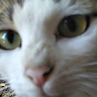 猫飼い初心者も大丈夫!穏やかで可愛いキジ白女の子。