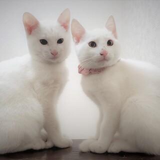 2匹子猫の兄弟姉妹での募集