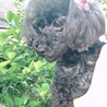 6歳くらいトイプードル女の子 サムネイル2