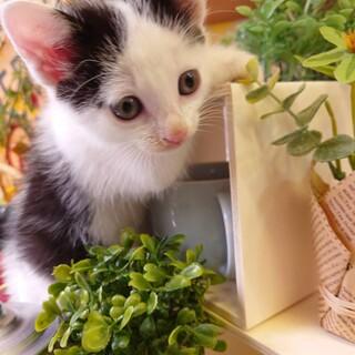 白黒子猫 1か月半男の子 穏やかで優しい 離乳済