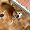 柴犬4歳女の子ピーコちゃん