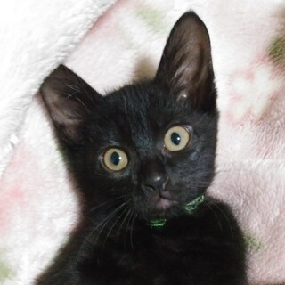 人の指を吸いながら甘える黒猫男子❤️いつき