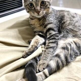 ゴロスリ可愛いキジトラ女の子6ヶ月