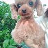 ティーカッププードル2歳くらい女の子 サムネイル2